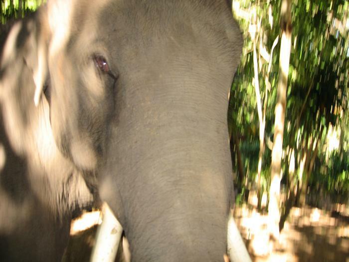 Den vilda elefanten i djungeln